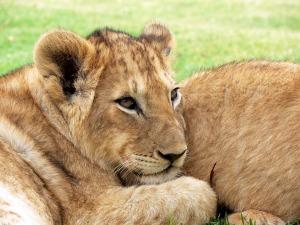 lion-275975_960_720
